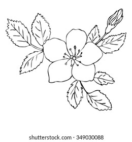 Vector illustration of hand drawn dog rose isolated on white background. Outline flower are element for design
