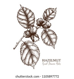 Vector illustration of hand drawn hazelnut. Vintage nut sketch. Organic food drawing on white background.