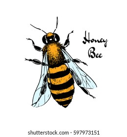 Vector illustration of hand drawn honey bee made in retro style. Beautiful ink drawing.