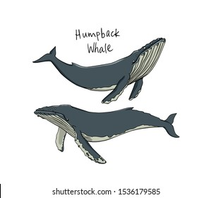 Vector illustration of hand drawn Humpback whales. Beautiful ink drawing, marine animal illustration. Perfect design elements.