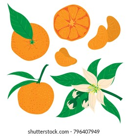 Vector illustration. Hand drawn Mandarins, clementines, citrus. Mandarin and citrus flower blossom set.