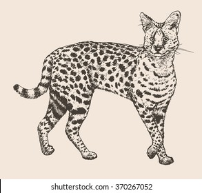 Vector illustration. Hand drawn realistic sketch of a serval
