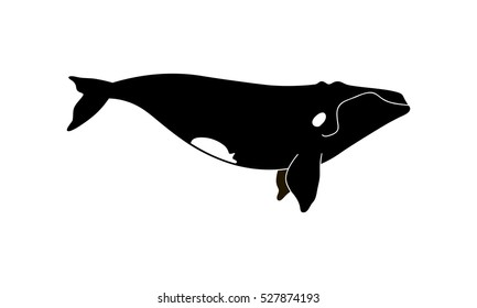Vector illustration of a hand drawn right whale.