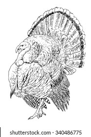 Vector illustration. Hand drawn sketch of a turkey