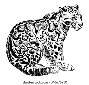 Vector illustration. Hand drawn sketch of clouded leopard, isolated on white background