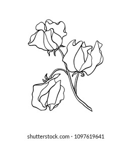 Vector illustration of hand drawn sweet pea twig. Ink drawing, graphic style, beautiful floral design element