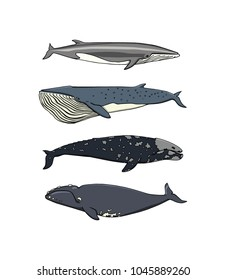 Vector illustration of hand drawn whales. Beautiful ink drawing, heavy contour. Perfect design elements, marine animal illustration