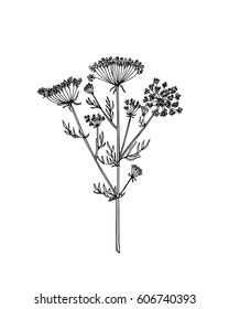 Vector illustration of hand drawn wildflower - queen Ann's lace. Beautiful ink drawing, vintage style.