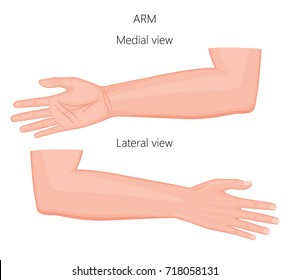 Vector illustration of a healthy European human arm. Medial and lateral view. For advertising, medical publications. EPS 8.