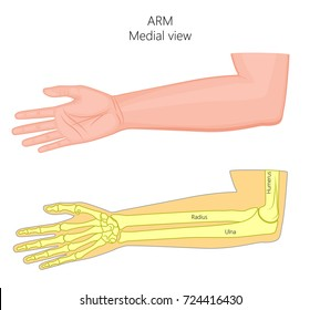 Vector illustration of a healthy human arm with elbow and its bones. Medial view. For advertising, medical publications. EPS 8.