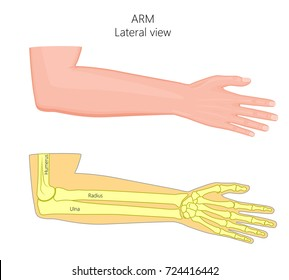 Vector illustration of a healthy human arm with elbow and its bones. Lateral view. For advertising, medical publications. EPS 8.