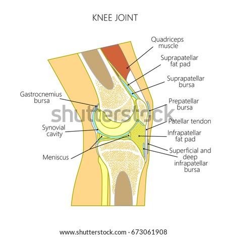 Vector Illustration Healthy Knee Joint Anatomy Stock Vector Royalty