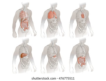 vector illustration human body anatomy medical internal organs system