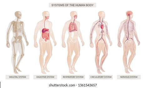 The vector illustration Human Body Systems: Circulatory, Skeletal, Nervous, Digestive systems. Full-length isolated image of man on white background.