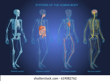 The vector illustration Human Body Systems