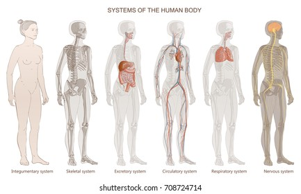 The vector illustration Human Body Systems: Circulatory, Skeletal, Nervous, Digestive, Integumentary, Exocrine, Respiratory systems. Full-length isolated image of standing woman on white background.
