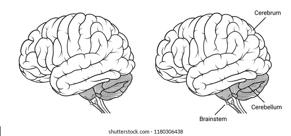 Vector Illustration ,Human brain anatomy Side view outline on white background