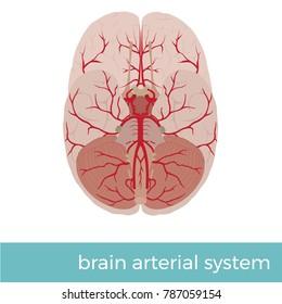 vector illustration of human brain arterial system