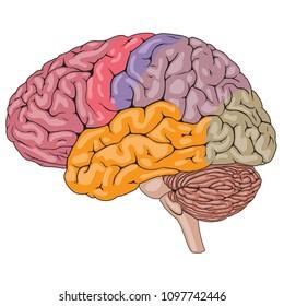 brain parts images, stock photos \u0026 vectors shutterstock