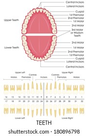 vector illustration of human dental anatomy