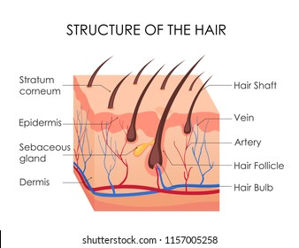 Vector illustration of human hair diagram. Piece of human skin and all structure of hair on the white background. Medical Treatment of baldness, epilation concept.