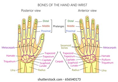 Vector illustration of a human hand with denominations of palm and wrist bones . Anatomy of dorsal (posterior) and palmar (anterior) views of  the hand. For advertising or medical publications. EPS 10