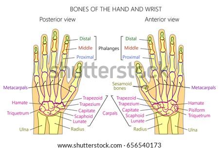 Vector Illustration Human Hand Denominations Palm Stock-Vektorgrafik ...