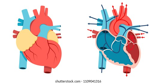 Vector Illustration, Human heart and Blood flow of  human heart