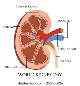 Cross section human kidney showing detail stock illustration vector illustration of human kidney for world kidney day ccuart Images