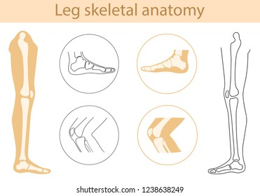 Vector illustration human leg bone structure anatomy. Set with detailed image of knee and foot. Educational materials. Medical, clinic, institute, rehabilitation, diagnostic, surgery logo element