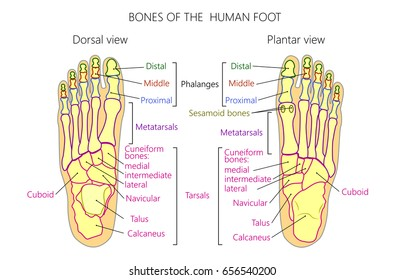Vector illustration of a human leg with denominations of the bones of the foot. Anatomy of dorsal and plantar views of  the foot. For advertising or medical publications. EPS 10.