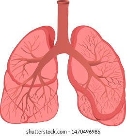 Vector illustration of Human lung isolated on white background