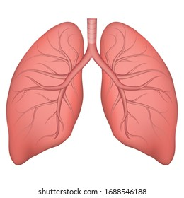 Vector illustration of human lung structure. Realistic drawing for anotomy biology textbook or articles about pulmonary diseases. Lungs in normal condition. Respiratory diseases