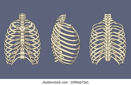 Vector illustration of human rib cage skeletal anatomy pack