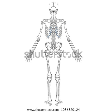 Vector Illustration Human Skeleton Back View Stock Vector Royalty