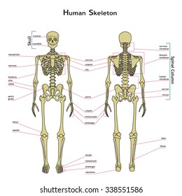 Human skeletal system images stock photos vectors shutterstock vector illustration of human skeleton didactic board of anatomy of human bony system a ccuart Image collections