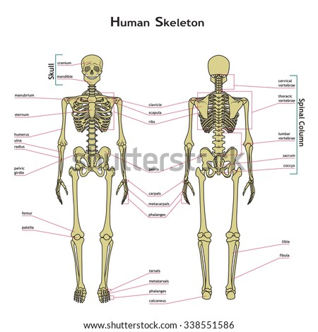 Vector Illustration Human Skeleton Didactic Board Stock Vector