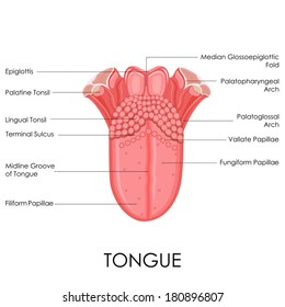 vector illustration of human tongue anatomy