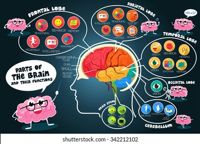 A vector illustration of infographic parts and functions of brain