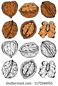 Vector illustration of ink sketch hand drawn colorful walnut plant set. Farmer market design. Vintage, retro style. Whole, half nuts seed. Healthy food, organic, Engraved.