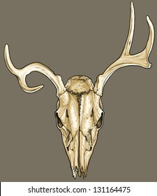 Vector illustration of an isolated deer skull (front view).