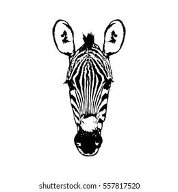 Vector illustration isolated on white background - Zebra