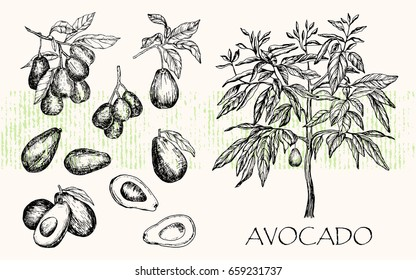 Vector illustration. Isolated pen style drawn avocado fruit tree, avocado leaves and branches.