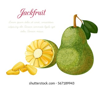 Vector illustration of a jack fruit, made in a realistic style. Isolated objects on a white background. A series of exotic fruits.