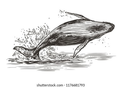 Vector illustration of jumping humpback whale. Sketch style