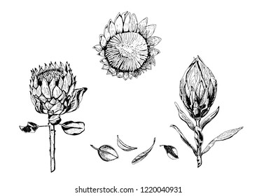 Vector illustration of king protea flowers, buds and leaves. Protea, South Africa symbol, isolated on white background, hand drawn in black and white.