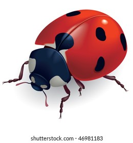Vector illustration of a ladybug. Coccinellidae.