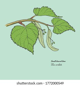 Vector illustration of the leaf of a Tilia cordata, commonly known as a small-leaved lime