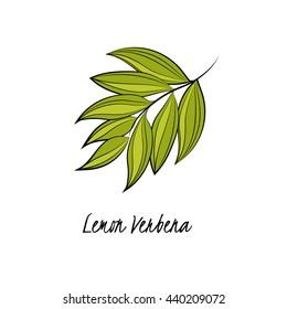 Vector illustration of lemon verbena. Aromatic and medicinal plant.