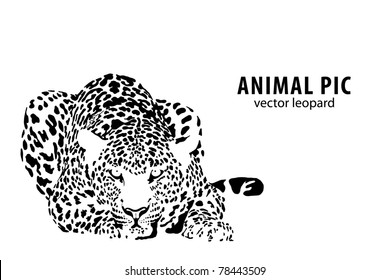 Vector illustration of a leopard on white background